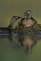 Least Grebe, Tachybaptus dominicus,adult feeding young on back, Rio Grande Valley, Texas, USA