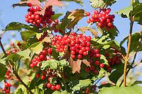 Gemeiner Schneeball, Gewöhnlicher Schneeball, Früchte, Viburnum opulus, European Cranberrybush, Guelder Rose