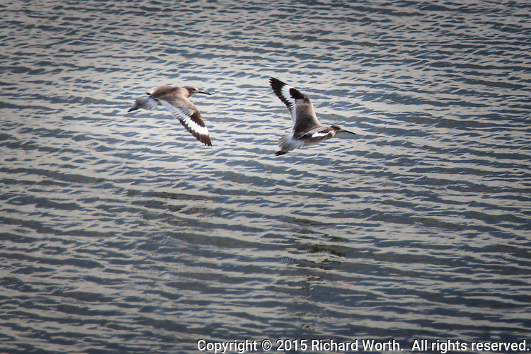 The distinctive wing patterns leave no doubt -  these two are Willets, flying over San Francisco Bay's waters at the San Leandro Marina Park.
