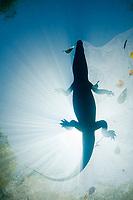 Morelet's crocodile, Central American crocodile, Mexican crocodile, or Belize, Caribbean, Atlantic crocodile, Crocodylus moreletii, rests floating on surface of cenote, or freshwater spring, near Tulum, Yucatan Peninsula, Mexico, Caribbean, Atlantic