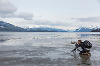 Western sandpipers, Hartney Bay, Copper River Delta, Prince William Sound, Alaska.