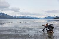 Western sandpipers, Hartney Bay, Copper River Delta, Prince William Sound, Alaska.