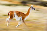Guanaco (Lama guanicoe) running, Torres del Paine National Park, Patagonia, Chile