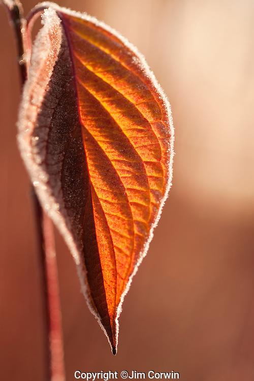 Dogwood leaf backlit with frost along edges