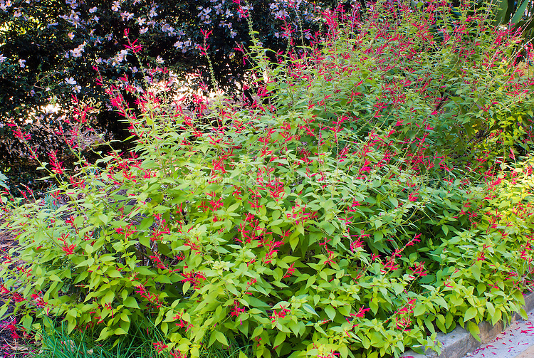 Salvia elegans 'Golden Delicious' Pineapple Sage in autumn flower, aromatic foliage leaves