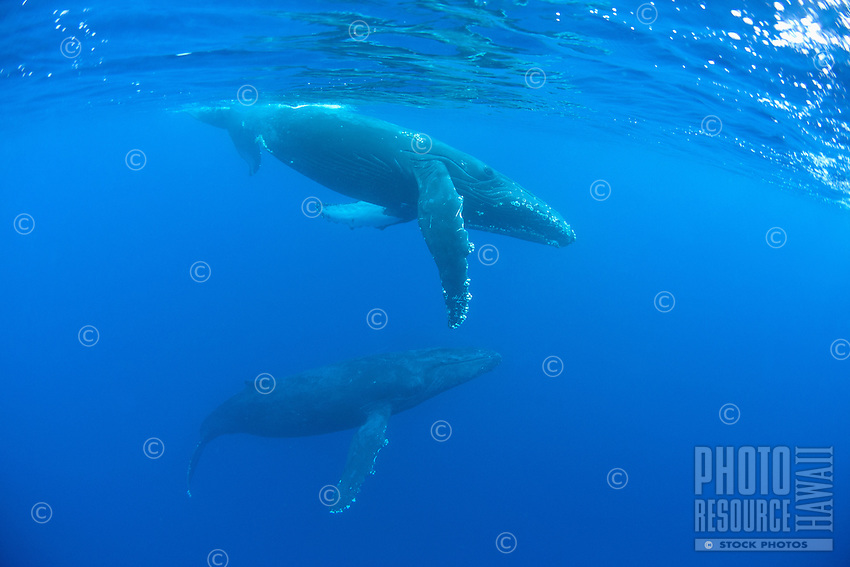 Humpback whales migrate to Hawai'i every winter; these whales were seen near Maui.