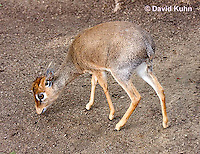 0618-1101  Cavendish's Dik-dik, Madoqua kirkii cavendishi  © David Kuhn/Dwight Kuhn Photography