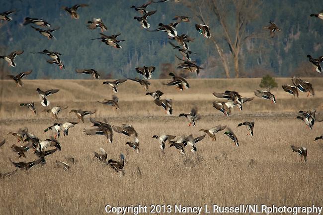 Mallard ducks landing in a grain field to eat in the winter at Kootenai National Wildlife Refuge in Idaho
