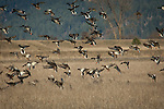 Mallard ducks landing in a grain field to eat in the winter at Kootenai National Wildlife Refuge in Idaho