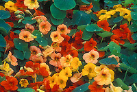 Tropaeolum majus 'Tip Top Mixed', nasturtiums, annual edible flowers in variety of colors, orange, yellow, peach salmon apricot