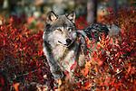 Gray wolf emerges from fall foliage, Minnesota, USA