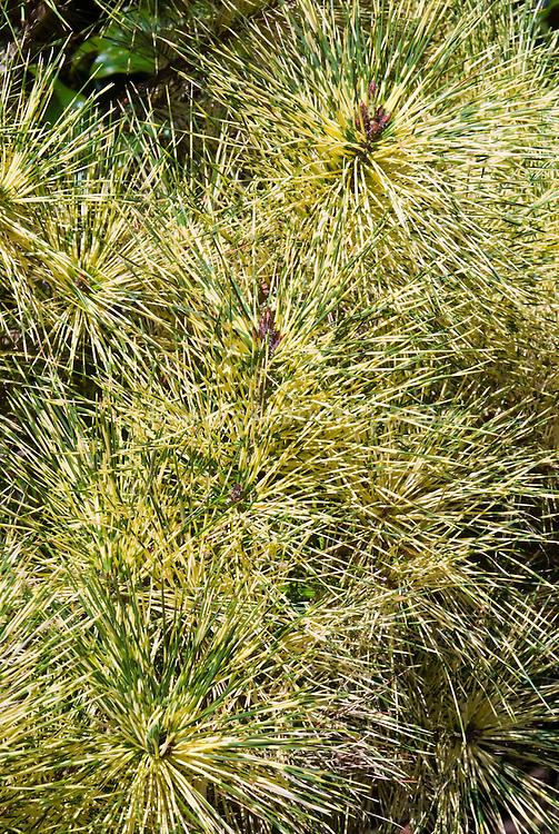 Pinus densiflora Golden Ghost, variegated pine tree, Variegated Japanese Red Pine, a semi-dwarf evergreen