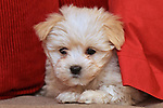 Bella. Maltese Silky Terrier Cross