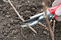 Planting a container-grown blackcurrant bush. Image 9 of 10. Immediately after planting, prune the stems almost to the base. It sounds harsh but in fact gets the bush off to the right start.