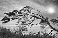 Fir Tree, Olympic National Park, Washington
