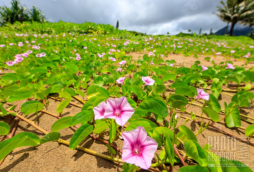 Pink flowers and green leaves spread across the sandy beach at Hanalei Bay, Kaua'i.