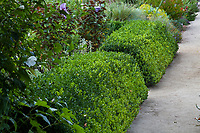 Pruned boxwood hedge for formal herb garden in Gamble Garden, Palo Alto, California