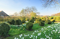 Jardin de la Ferme du Mont des R&eacute;collets: les &quot;Berlingots de buis&quot;, jardin &agrave; la flamande d'esprit contemporain. Buis taill&eacute;s en berlingots, narcisses<br />  'Mount Hood', 'cheefulness' (double), 'Yellow cheerfulness', Narcisses triandus 'Thalia'(blanc tardif), 'double Campernelle'(jaune), N. segovia(tardif, blanc pur, petit), N.'Jetfire'(&agrave; trompe orange sur fond jaune) // France, garden of Ferme du Mont des R&eacute;collets, &quot;Berlingots de buis&quot; garden, carved boxwood and narcissus