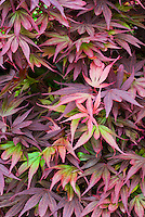 Acer palmatum 'Shaina', Dwarf Japanese maple tree in spring color