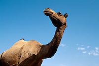 Kamel in Rajasthan, Indien.