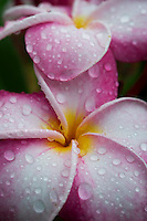 Pink frangipani with raindrops, Eneko Island, Majuro Atoll, Marshall Islands