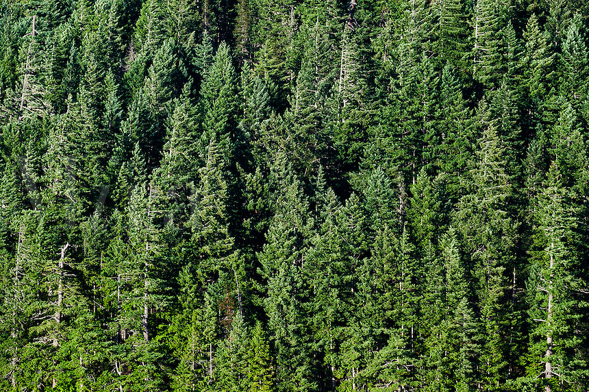 Stand of coniferous trees, British Columbia, Canada