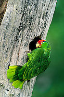 567780007v a wild red-crowned parrot amazonia viridigenalis perches at the entrance to its cavity nest in a large tree on a private ranch in tamaulipas state mexico