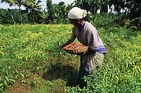 INDIA Karnataka Taccode, spices, farmer harvest red chilies at farm / INDIEN Karnataka Taccode, Gewuerzpflanzen, Frau bei Ernte von roten Chili Schoten