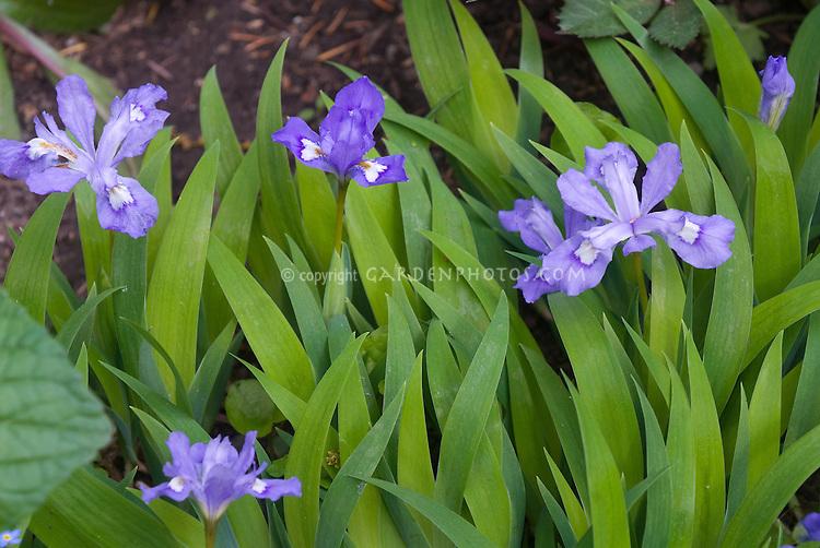 Iris reticulata, dwarf iris, blue flowers