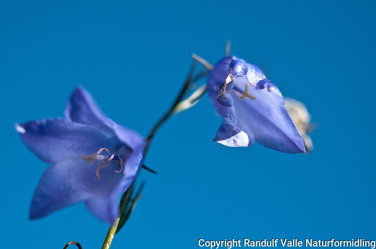 Blåklokke (Campanula rotundifolia) ---- Harebell (Campanula rotundifolia)