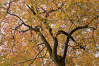 Herbstlicher Buchenwald, Baumkrone, Krone, Wipfel, Rot-Buche, Buche, leuchtende Herbstfarbe, Herbstlaub, Fagus sylvatica, Common Beech