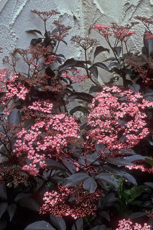 Sambucus nigra 'Black Beauty' in flower with black leaves