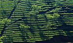 Tea plantation, Kerala, India