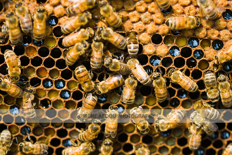 In beekeeping, the cells on a frame of comb are used to rear brood (the capped cells in the photo), as well as to store honey, nectar (dark liquid) and pollen (orange and yellow solid).  These bees are kept by Michael and Jean Higgs, local beekepers in Silver Spring, Maryland.