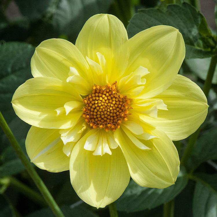 Dahlia 'Susan Gilbert', early September. A primrose yellow Collerette Group dahlia.