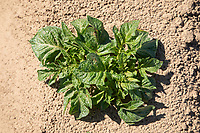 Young potato plants emerging - Lincolnshire, May