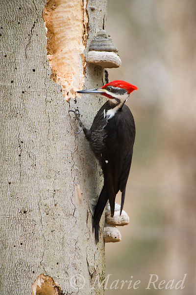 Pileated Woodpecker (Dryocopus pileatus) male excavating for carpenter ants in a beech trunk in winter, Ithaca, New York, USA. Note the polypore fungi on the trunk.