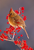 Female Northern Cardinal among hawthorn berries.Cardinalis cardinalis..Female Northern Cardinal among hawthorn berriesCardinalis cardinalis.Female Northern Cardinal among hawthorn berriesCardinalis cardinalis.Female Northern Cardinal among hawthorn berries.Cardinalis cardinalis
