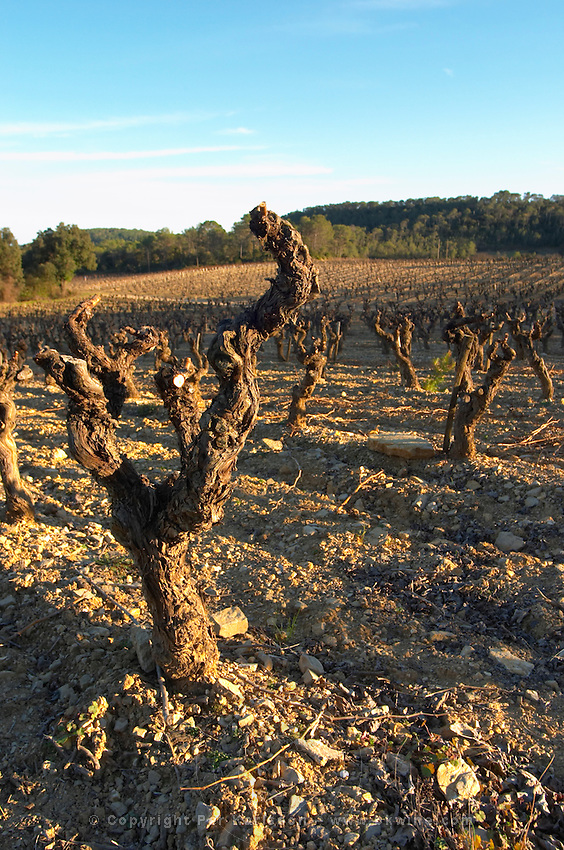 Domaine de Mas de Martin, St Bauzille de Montmel. Gres de Montpellier. Languedoc. Vines trained in Gobelet pruning. Old, gnarled and twisting vine. In the vineyard. France. Europe.