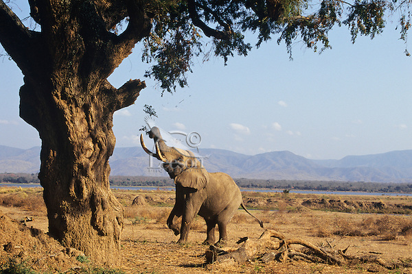 African elephant (Loxodonta africana) breaking off limb and leaves from acacia tree for food.  Mana Pools National Park, Zimbabwe.  This is part of a sequence; see also 3ME1210 and 3ME1088.