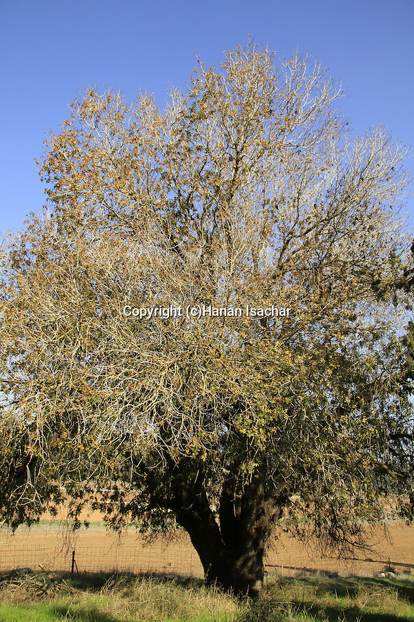 Israel, Shephelah, Mount Tabor Oak tree (Quercus ithaburensis) in Maresha Forest