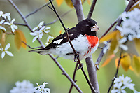 Male Rose-breasted Grosbeak (Pheucticus ludovicianus) in serviceberry bush.  Great Lakes Region, May.