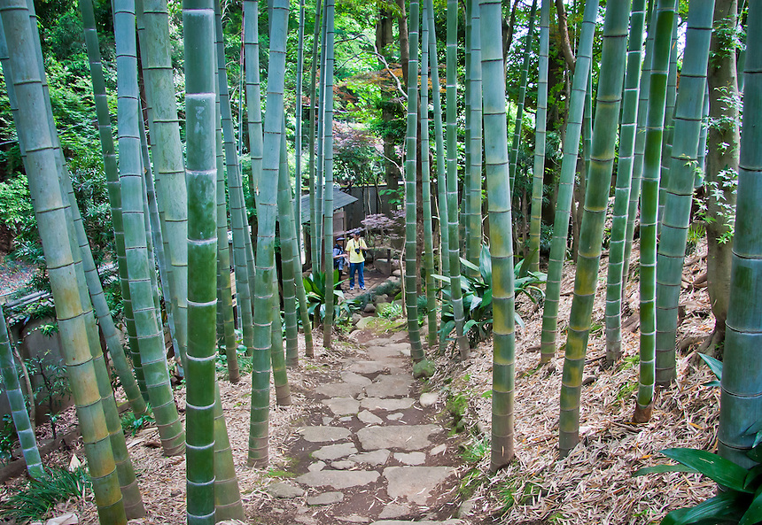Couple viewing Moso bamboo grove in Tokyo`s Todoroki valley,