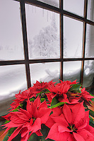 Window with poinsettia in winter at Timberline Lodge. Oregon