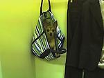 Chihuahua<br /> Chi<br /> dob 8/25/04<br /> 7.8 lbs