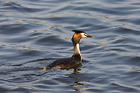 Great Crested Grebe, Norfolk Broads, United Kingdom