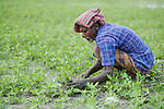Delbor Ali weeds his peanuts in West Fasura, a village on an island in the Brahmaputra River in northern Bangladesh.