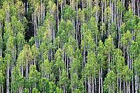 Hillside of Aspen Trees, Gunnison National Forest, Colorado