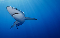 WQ1158-Drm. The Blue Shark (Prionace glauca) is found throughout tropical and temperate seas worldwide, primarily in the open ocean, from the surface to over 700 feet deep. It grows to over 12 feet long and feeds on squid, schooling bony fish like anchovies and sardines, and also on krill. Large eyes, long pectoral fins, long pointed nose, sleek body and metallic blue to silver gray skin color help to identify it. Azores, Portugal, Atlantic Ocean. <br /> Photo Copyright © Brandon Cole. All rights reserved worldwide.  www.brandoncole.com