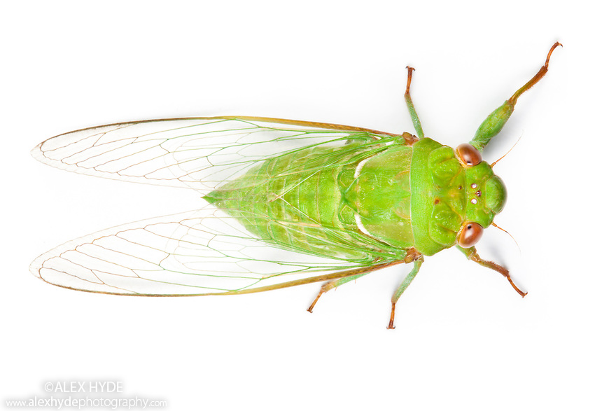 Green Cicada {Cicadoidea} photographed on a white background in mobile field studio in tropical rainforest. Danum Valley, Sabah, Borneo, Malaysia.